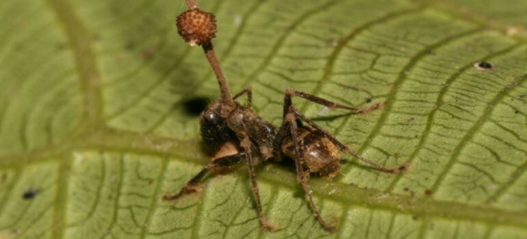 horrifying zombie ant