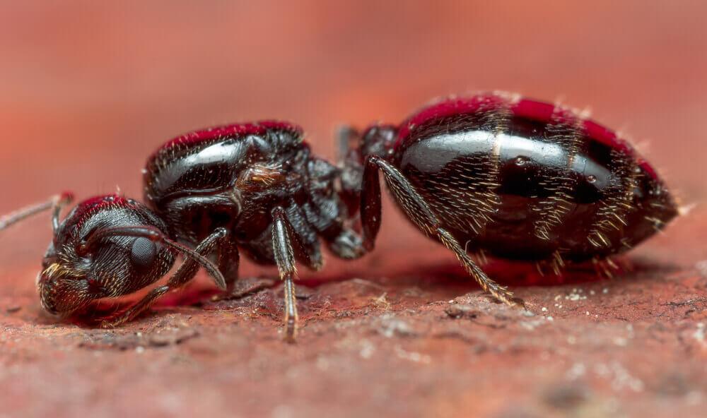 bomber ant