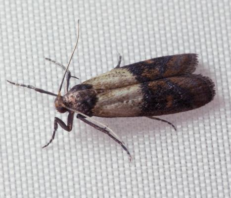 how to get rid of a moth infestation fantastic pest control. Black Bedroom Furniture Sets. Home Design Ideas