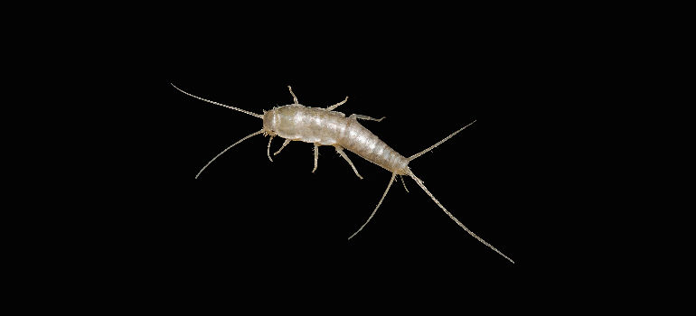 how to get rid of silverfish infestation