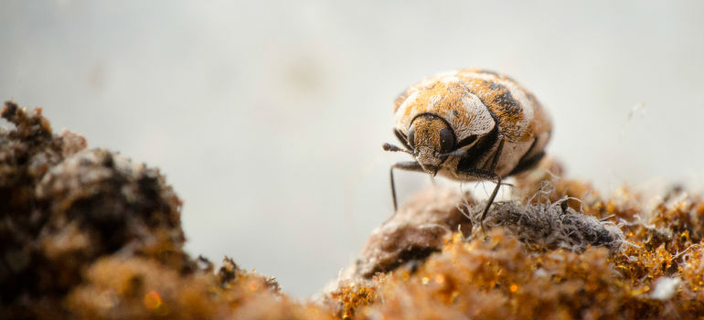 HELP! How to Get Rid of Carpet Beetles