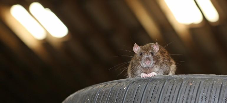 Rat sitting on tires in a garage