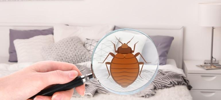 bed bugs in a bedroom
