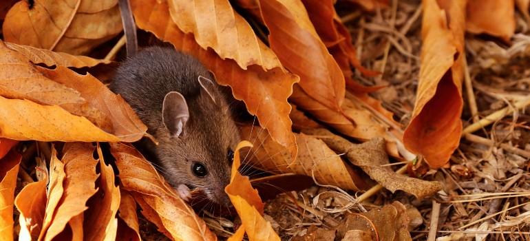 rodent control Fantastic Pest Control