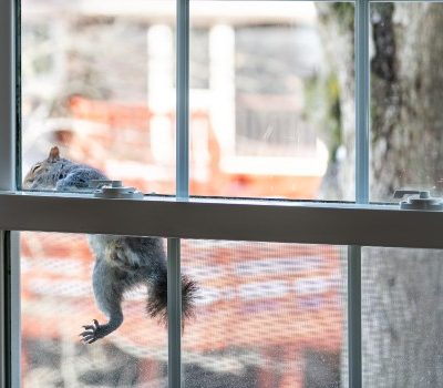 squirrel trying to get inside through a window