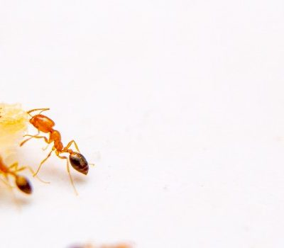 sugar ants prevention