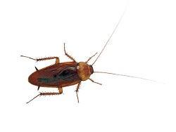 <h3>The American cockroach (Periplaneta americana)</h3>