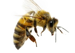 <h3>Honey bee (Genus Apis)</h3>