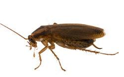 <h3>The German cockroach (Blattella germanica)</h3>
