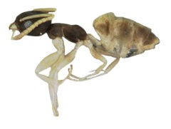 <h3>Ghost ant</h3>