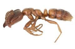Roger's ant