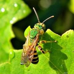 <h3>Sweat Bees (Family Halictidae)</h3>