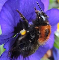 Tree Bumblebees (Bombus hypnorum)