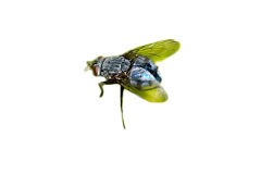 Bluebottle Fly (Calliphora vomitoria)