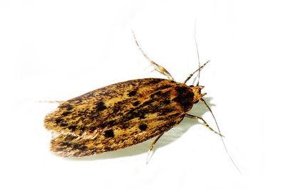 <h3>Brown House Moth (Hofmannophila pseudospretella)</h3>