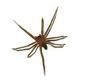 <h3>Brown Recluse Spider (Loxosceles reclusa)</h3>