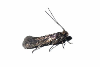 Case-bearing Clothes Moth (Tinea pellionella)