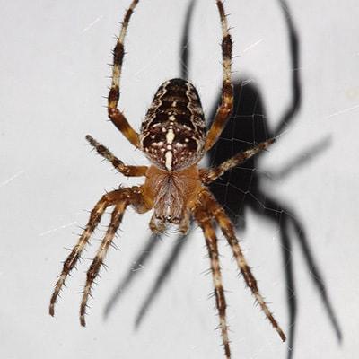 <h3>European Garden Spider (Araneus diadematus)</h3>