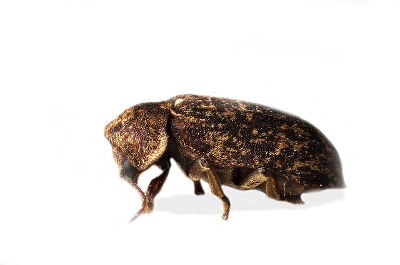 Death Watch Beetle (Xestobium rufovillosum)