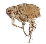 <h3>Canine (dog) flea</h3>