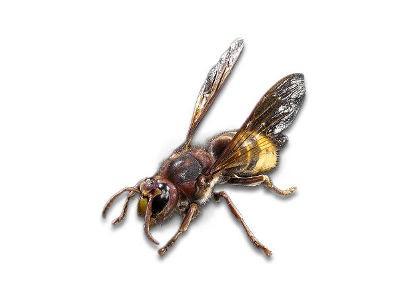 European hornets (Vespa crabro)