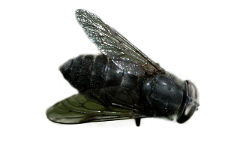 Horse Fly (Hybomitra micans)