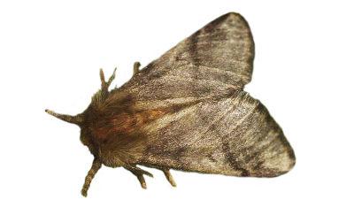 Oak Processionary Moth (Thaumetopoea processionea)
