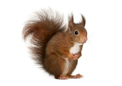 <h3>Red squirrel (Sciurus vulgaris)</h3>