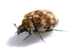 pictures of carpet beetles