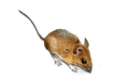 <h3>Yellow Necked Field Mice (Apodemus flavicollis)</h3>