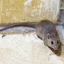 <h3>Black Rat</h3>