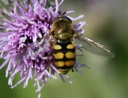 Hoverfly - looks like a wasp