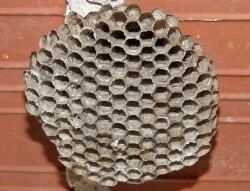 Vacant wasp nest