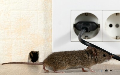 Dangers of a mouse infestation