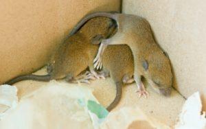 Mice nesting